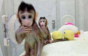 """Генетики из Китая  клонировали обезьяну, использовав методику """"овечки Долли"""""""