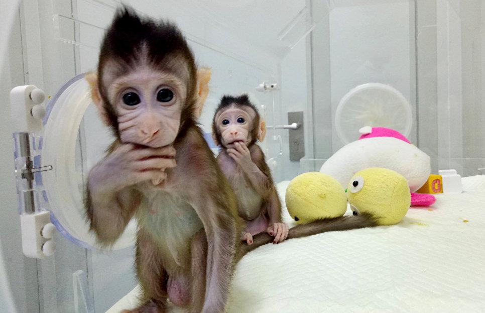 Генетики из Китая  клонировали обезьяну, использовав методику «овечки Долли»