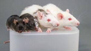 В США профинансируют создание гибридов человека и животного на основе абортивного материала