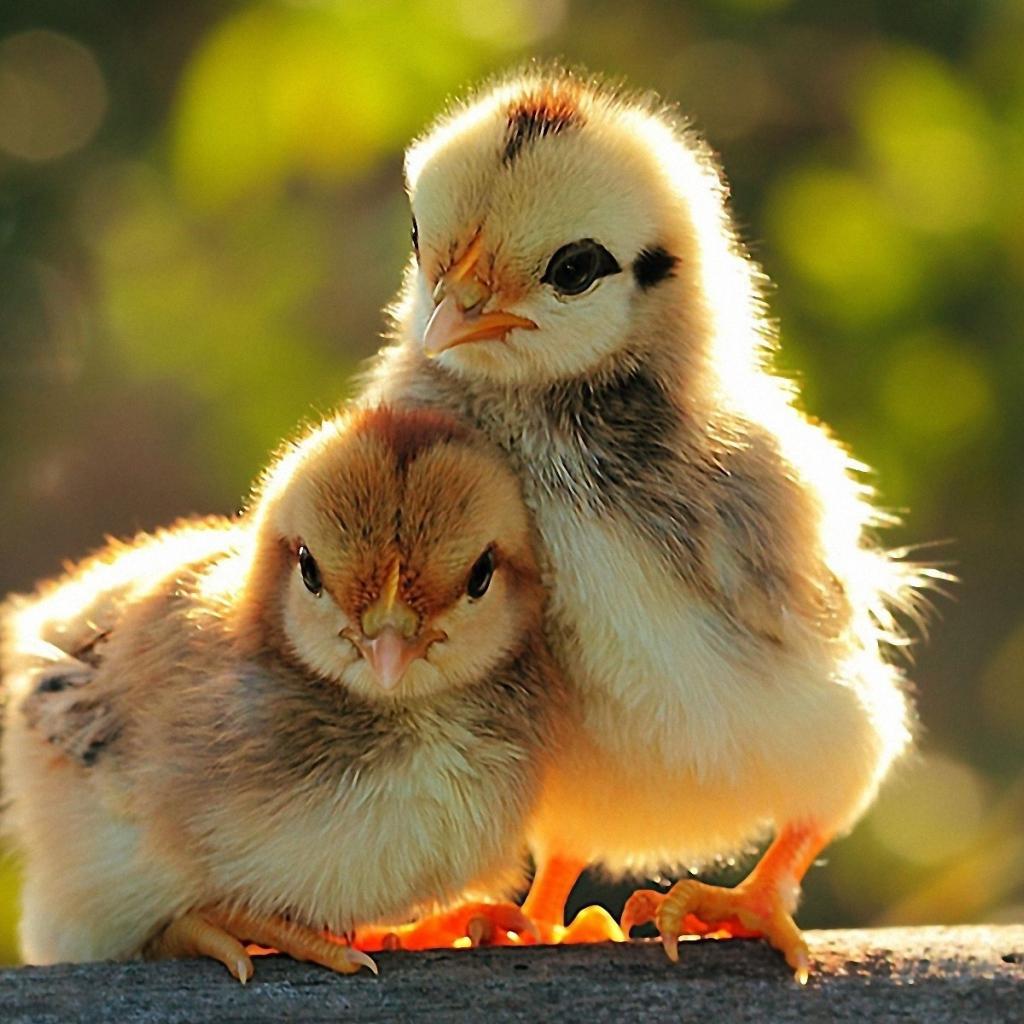 Когда цыплята важнее людей